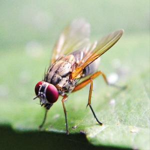 Lalat Buah-01