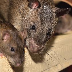 Tikus Rumah-01