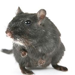 tikus Atap-01