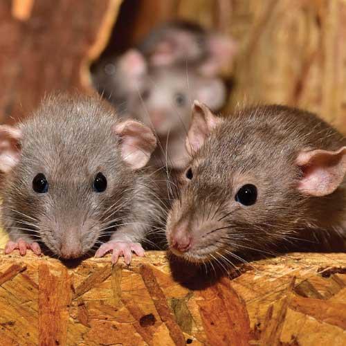 Ikari jasa basmi tikus-free