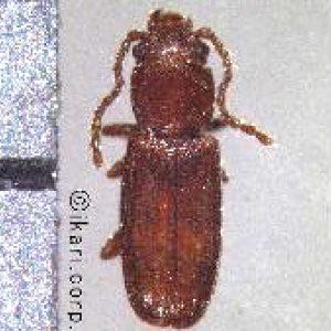 300x300 Kumbang Biji-bijian Datar-01