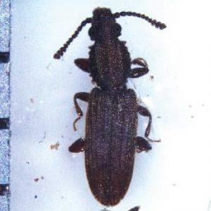 300x300 Kumbang bergerigi-01