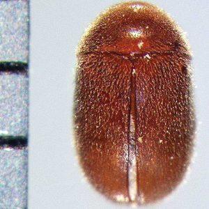 300x300 kumbang deathwatch-01