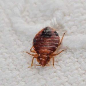 300x300 bed bug-01