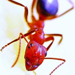 300x300 semut merah-01